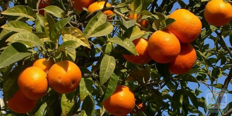 Апельсиновые плантации в Турции